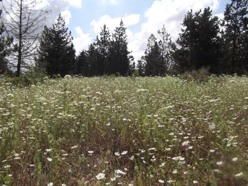 Field of Queen Anne's lace
