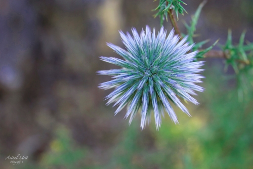 Thistle (courtesy of Mandy Detwiler)