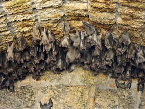 Fruit bats in the back of a vault
