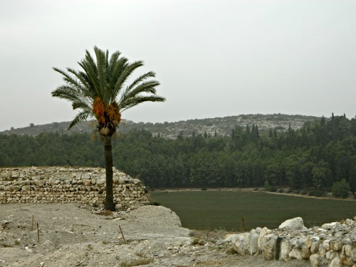Tel Megiddo ruins and a date palm