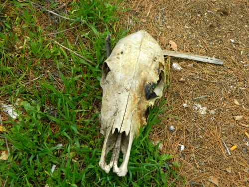 Slightly charred cow skull