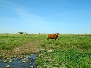 A cow at the Daliyot Stream