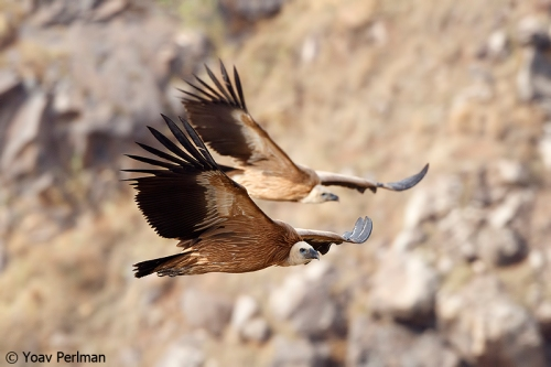 Griffon vultures at Gamla (photo: Yoav Perlman)