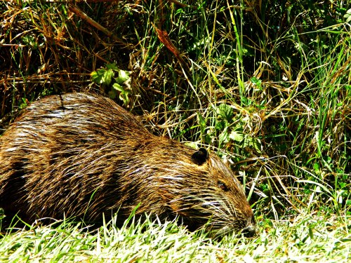 Eyeing the nutria