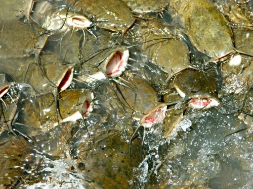 Hungry catfish