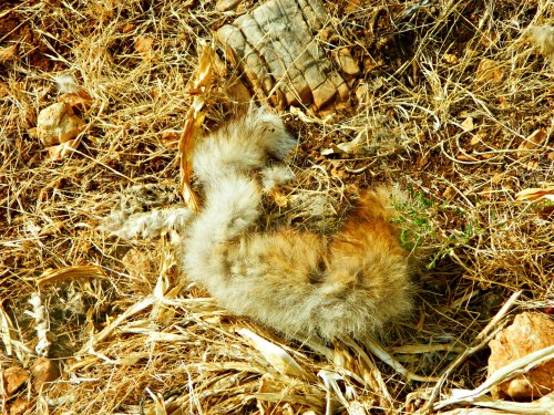 Torn fur from a fox or jackal