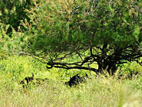 Water buffalo resting under a tree
