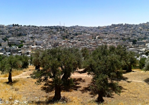 Olive trees and Hevron