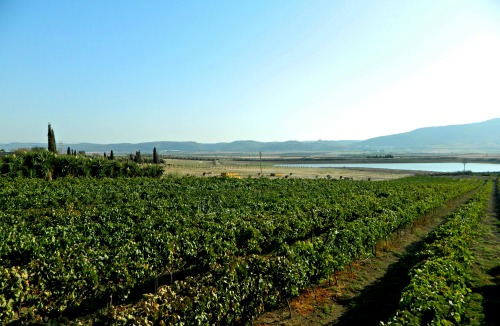 The picturesque vineyard at Sadot Winery