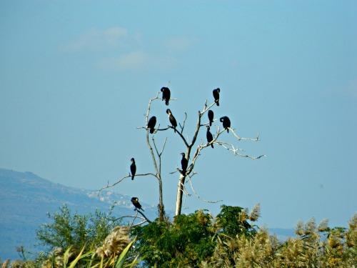 Cormorants on a dead tree
