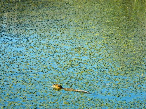 Nutria eating its way through the marsh
