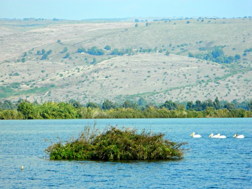 Pelicans and the Golan