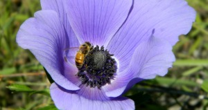 Anemone with bee