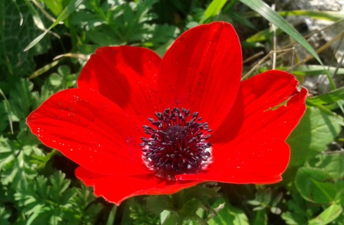 Blooming anemone