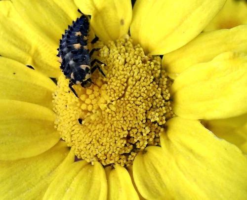 A ladybug larva on a garland chrysanthemum