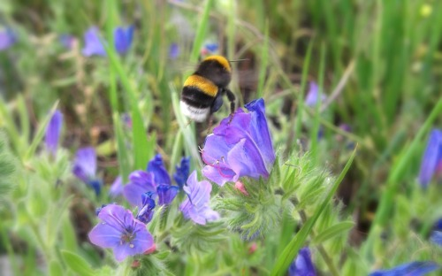 Bumblebee in the wildflowers