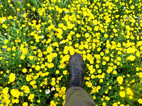 Chrysanthemums underfoot