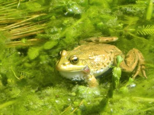 Pond frog in Ein Nevoraya