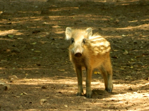 A curious wild boar piglet