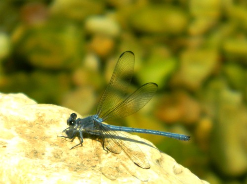 A patient dragonfly at Nachal Kziv