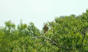 Kestrel in the tree