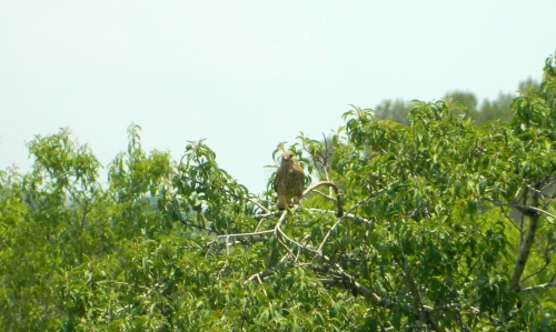 Kestrel in the tree