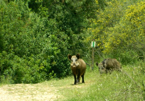 Wild boars on the trail