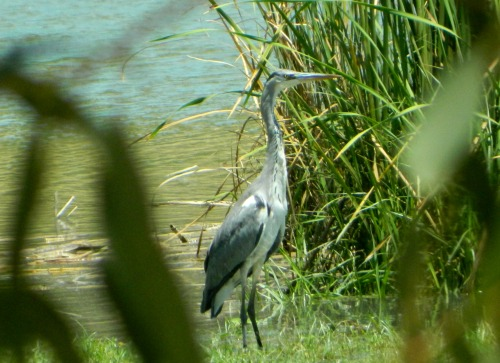 Spying on a grey heron through the plants