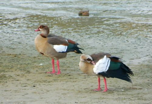 Egyptian geese preening on the banks of the Yarkon