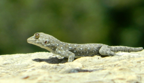 Fan-fingered gecko