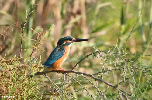 Common kingfisher (photo: Tamar Ron)
