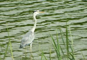 Grey heron wading in the shallows