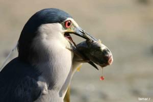Night heron with fish (photo: Tamar Ron)