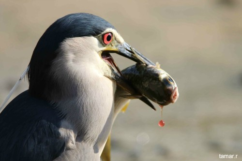 Night heron with fish (photo: Tamar Ron)