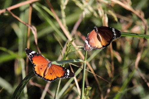 African monarch butterflies (photo Yedidya Popper)