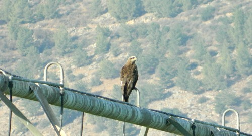 Black kite perched