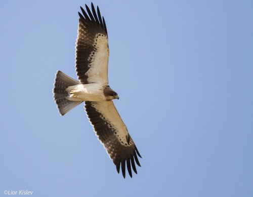 Booted eagle (photo Lior Kislev)