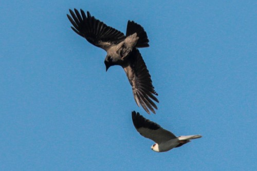 White-shouldered kite mobbed by a hooded crow (photo Yedidya Popper)