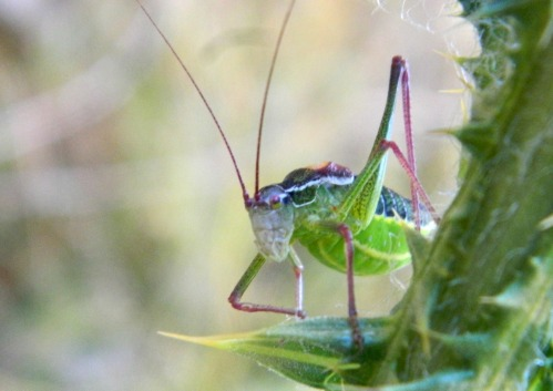 Bush cricket (Isophya savignyi)