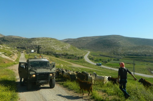Military jeep and Bedouin herd crossing paths