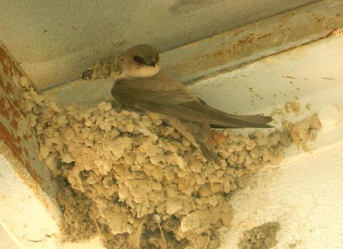 Nesting crag martin