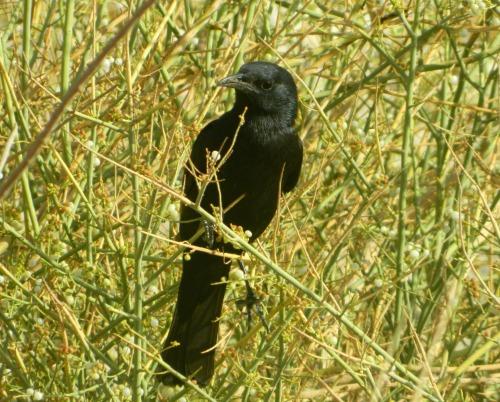 Tristam's starling