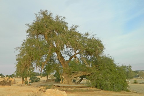 Ancient jujube tree