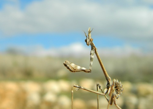Juvenile conehead mantis
