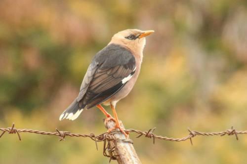 Vinous-breasted starling (photo Ami Vardi)