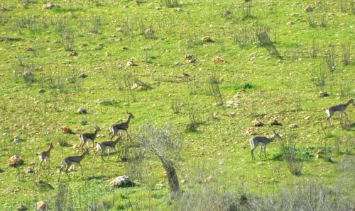 Gazelles on the move
