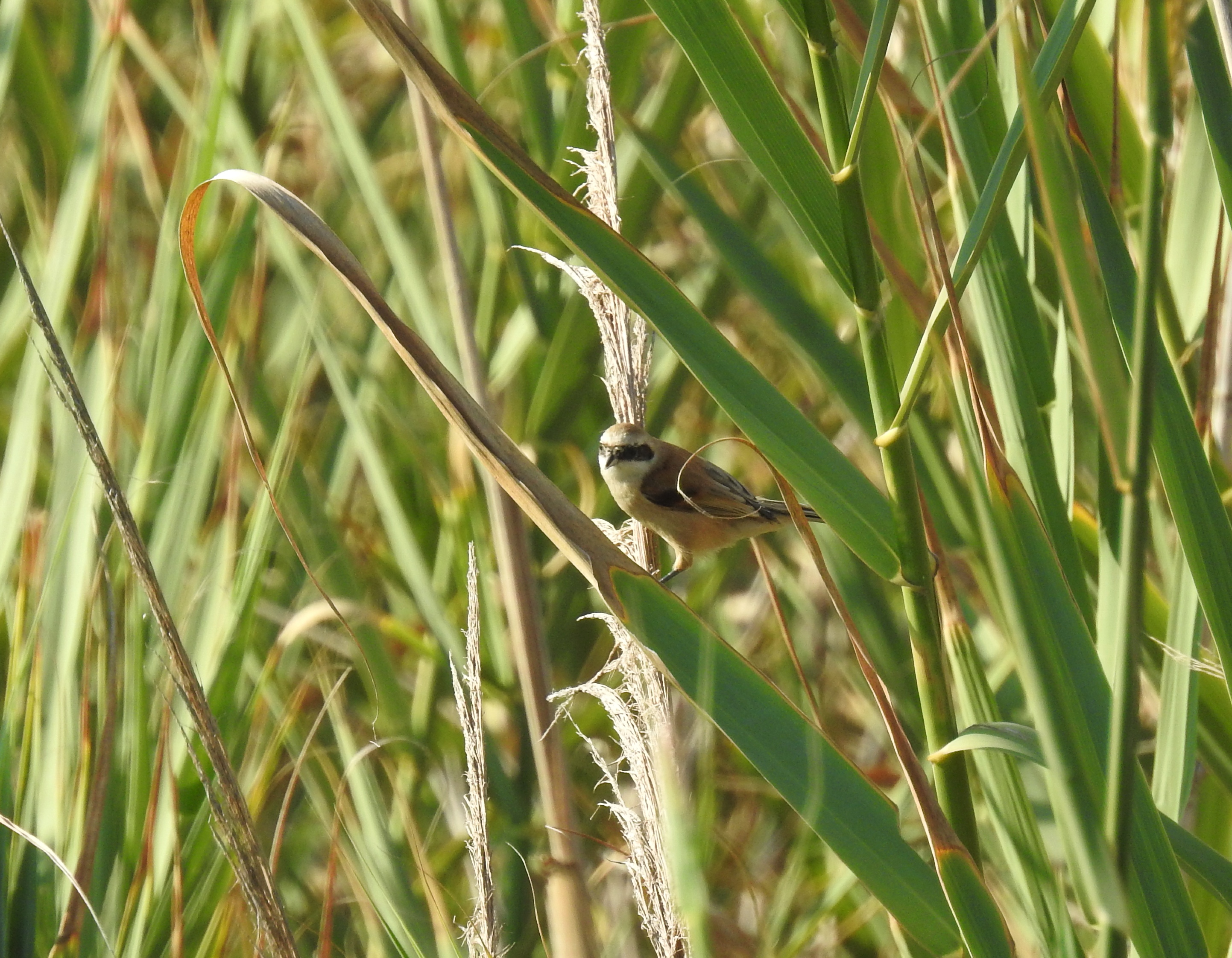 Penduline tit in the reeds
