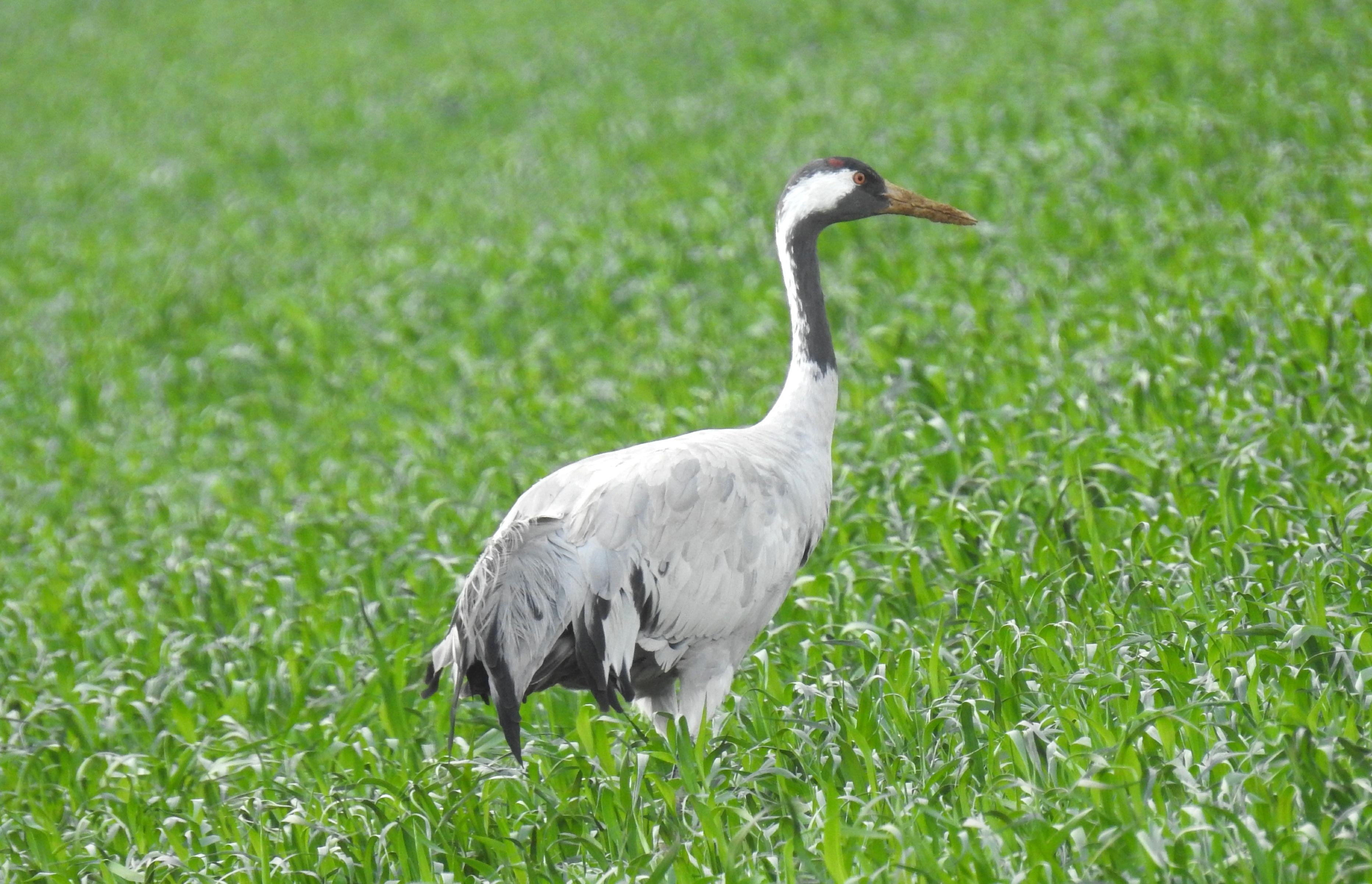 A crane in the fields