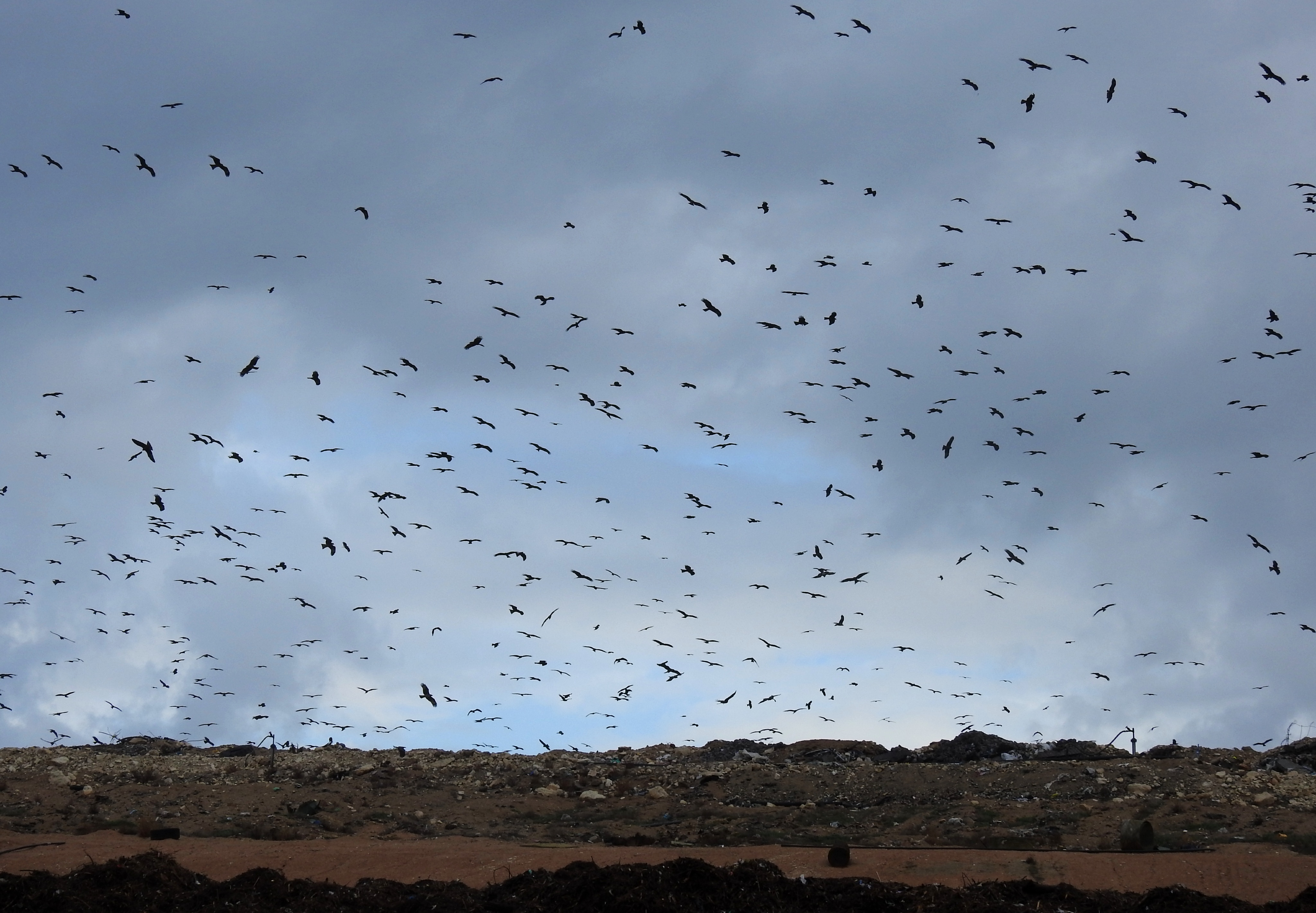 Black kites swarming over the landfill