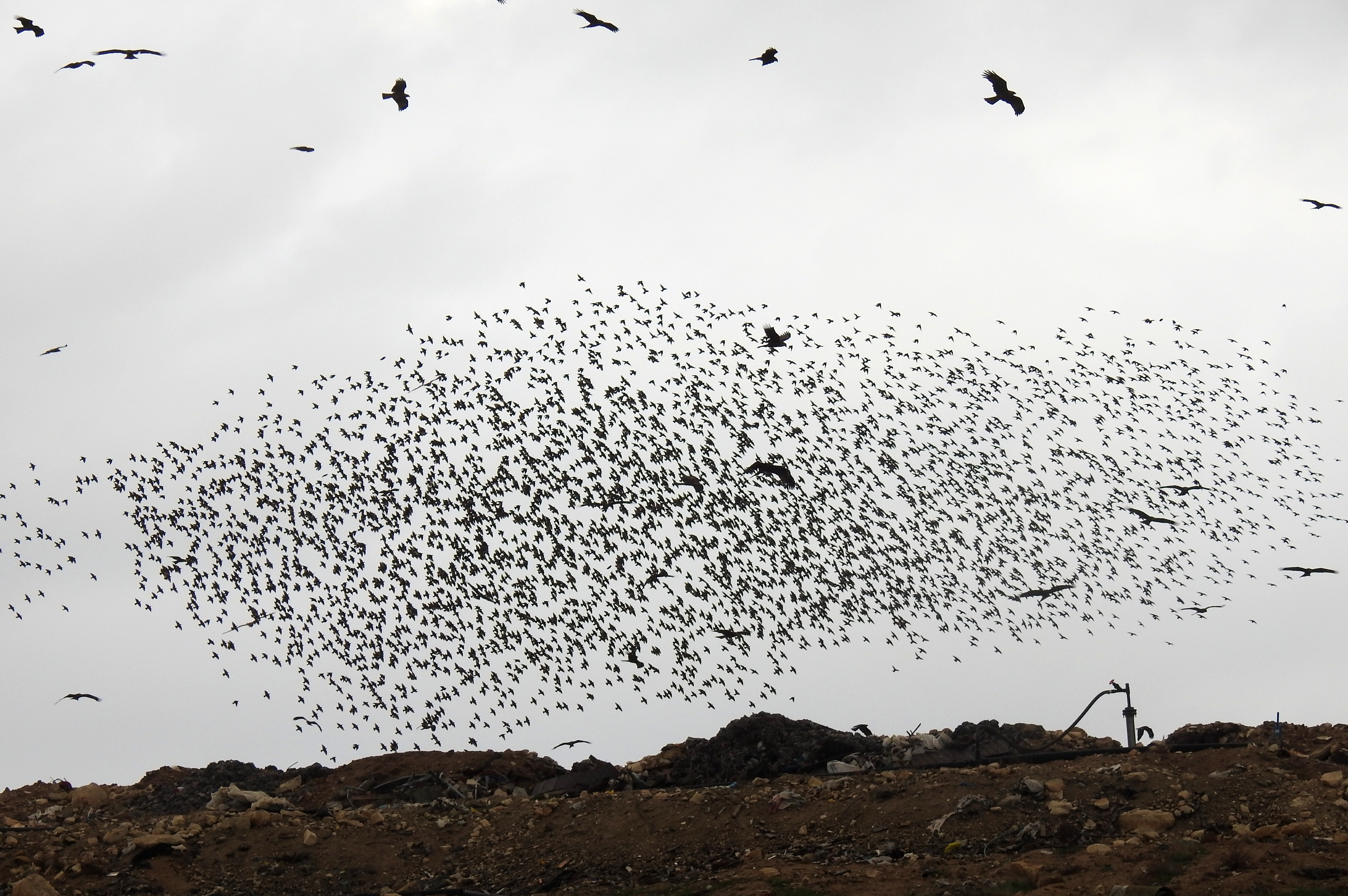 Let us not forget the starlings